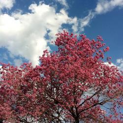 Lapacho Baum Blüte rosa