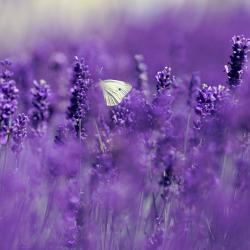 Bis zum Horizont - Lavendel