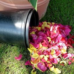 Rosenblätter sammeln mit Eimer