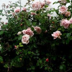 Rosenstrauch für üppige Ernte von Rosenblättern