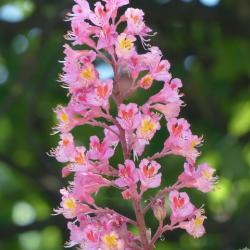 Rosskastanien Blüte - Essenz Nr. 35