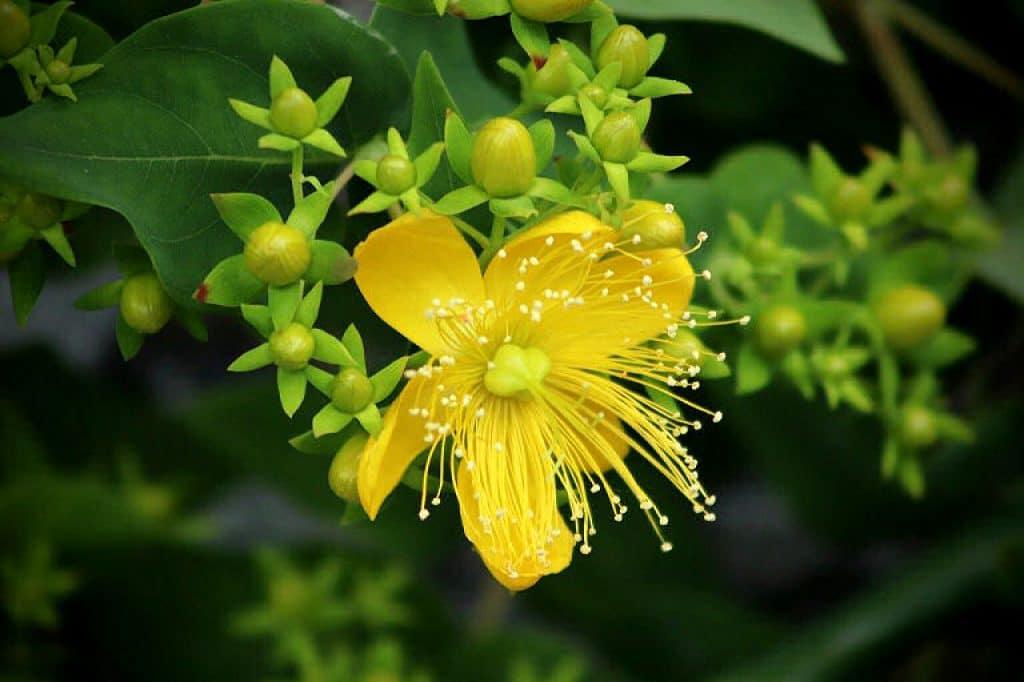 Für Johanniskraut Tee werden die Blüten oder auch das ganze Kraut getrocknet.