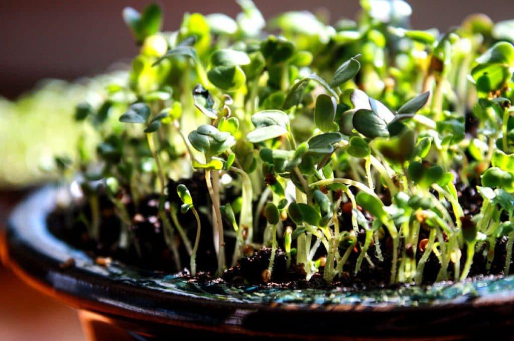 Microgreens zu Hause in einer Schale auf der Fensterbank