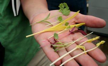 Microgreens können Kräuter und Gewürze, Gräser oder auch Gemüse sein.